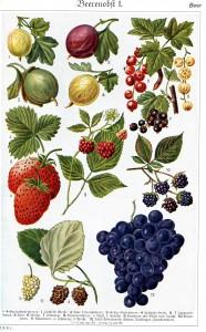 Berries_in_Brockhaus