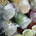 Huerto urbano de germinados